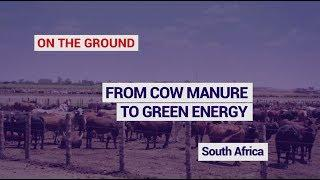 South Africa : From cow manure to green energy